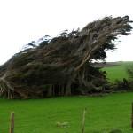 Windschiefe Bäume