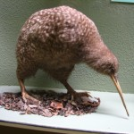 Kiwi (im Museum in Christchurch)