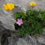 Blümchen im Burren
