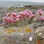 Blümchen und Küste (und Andi) am Burren