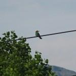 Piepvogel